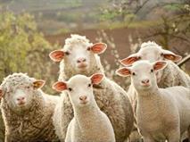 Водитель умудрился задавить 40 баранов и пять коров, фото 1